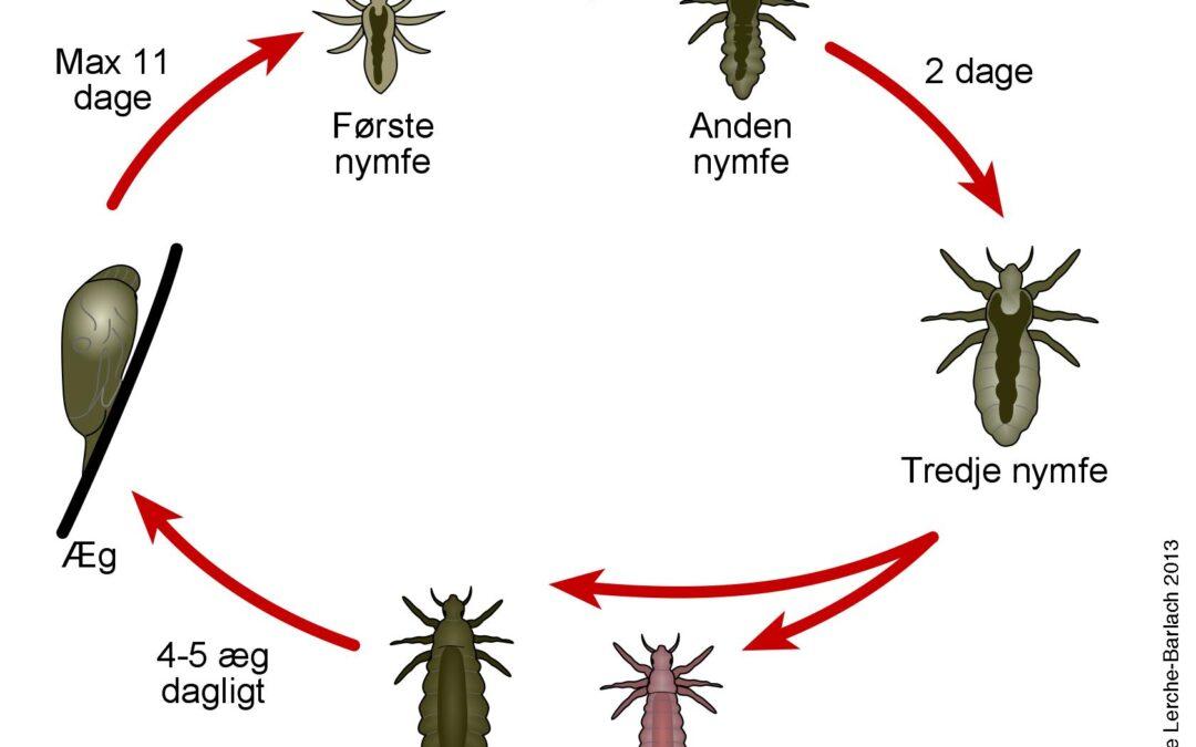 Lusens livscyklus fra æg til voksen